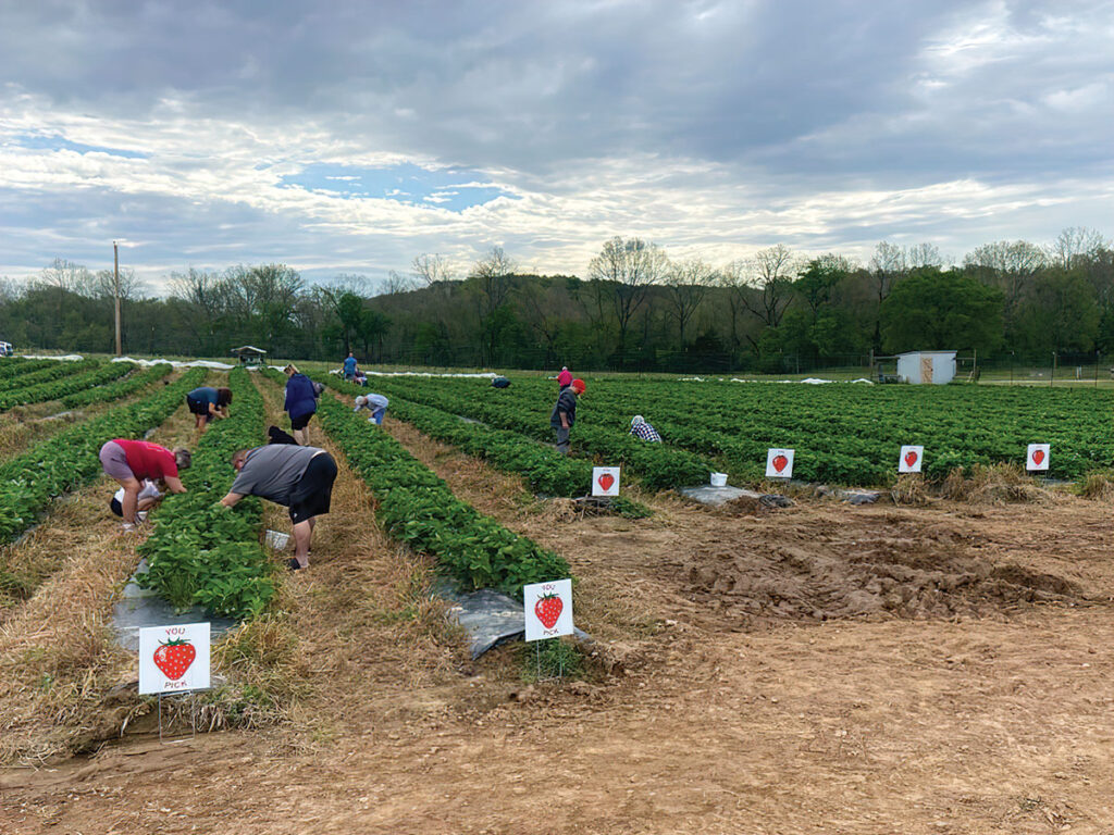 People picking strawberries at Whitewater Hollow Farms in Grove, Oklahoma. Submitted Photo.