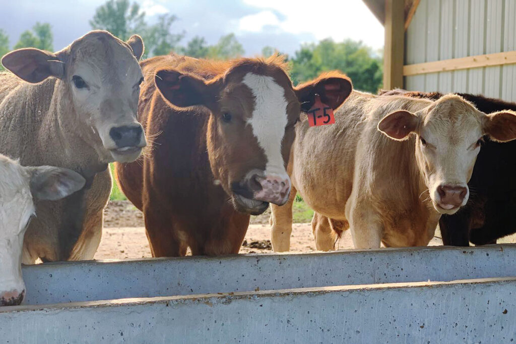 Beaudreau cattle at feeding trough. Submitted Photo.