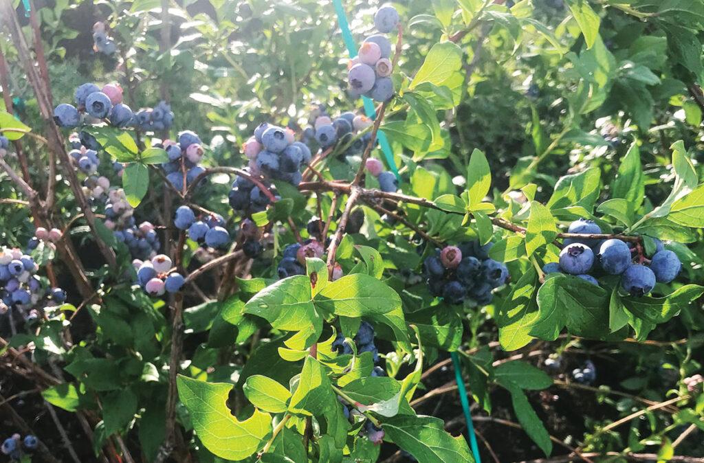 blueberries from Ozark Berry Farm in Leasburg, Missouri. Photo by Jessica Wilson.